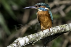 Kingfisher at Tehidy Country Park, Cornwall, UK