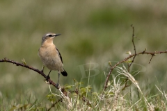 Northern Wheatear at Bartinney Downs