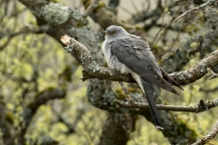 Cuckoo at Bartinney Downs in SW Cornwall, UK