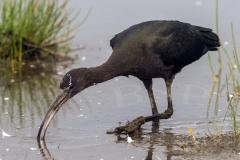 A visiting Glossy Ibis (Plegadis falcinellus) spent a few days feeding in Cornwall, excellent visitor.