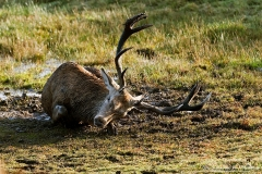 Red Deer Mud bathes and thrashes around in the early morning sunshine