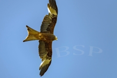 Red Kites Circle above hay field in Pant-Y-Dwr, looking for field mice etc disturbed by the tractors bayling hay.