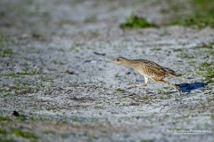Corncrake running between cover in the early morning sun