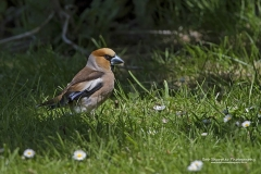 Hawfinch, Coccothraustes coccothraustes, feeding on seeds which were dropped on the grass, during May