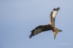 Red Kite (Milvus milvus) at Gigrin Farm