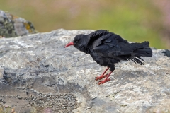 Chough ( Pyrrhocorax) at Lizard Peninsula Cornwall which a part of a programme to re-introduce the Cornish chough