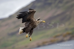 White Tailed Sea Eagle (Haliaeetus albicilla) fishing  on the Isle of Mull
