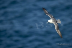 Fulmar (Fulmarus Glacialus) at Lizard Point in Cornwall