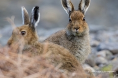 Mountain Hare (Lepus timidus) resting on beach, Isle of Mull