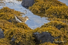 Common Sandpiper feeding on the Isle of Mull
