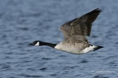Canada Geese Numenius phaeopus
