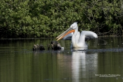 A Damatian Pelican which must of been blown off course has been sighted in Drift Reservoir at Cornwall during May 2016