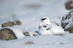 Ptarmigan Highlands (Lagopus muta) in the Scottish Highlands in stunning winter plumage. Residing in the Cairngorns,.
