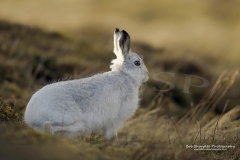 Mountain Hare (Lepus timidus) with winter coat in the Scottish Highlands
