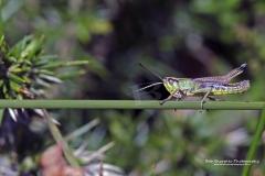 Grasshopper at Windmill farm Cornwall